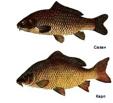Карп или сазан