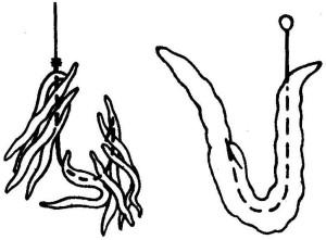 Как насаживать червя на крючок