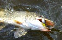 Как ловить щуку на спиннинг на реке и озерах