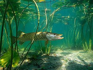 Грозный речной хищник